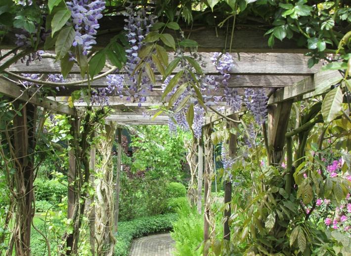 De zomersnoei van de blauwe regen groene passies - Bedekking voor pergola ...