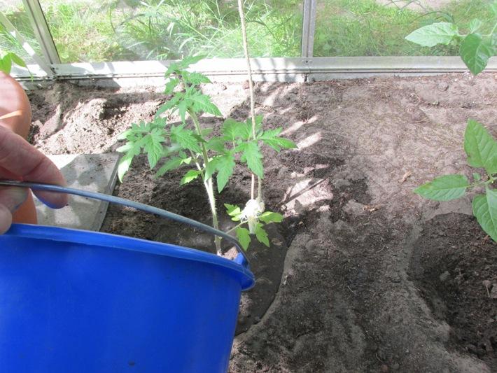 tomaten water geven