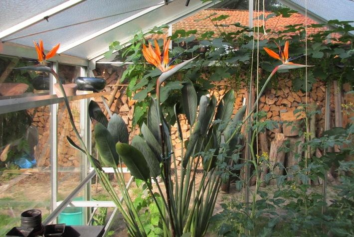 paradijsvogelbloem strelitzia