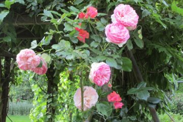 lathyrus roos