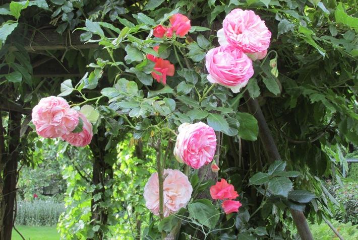 Kleurencombinaties in de tuin: licht- en donkerroze