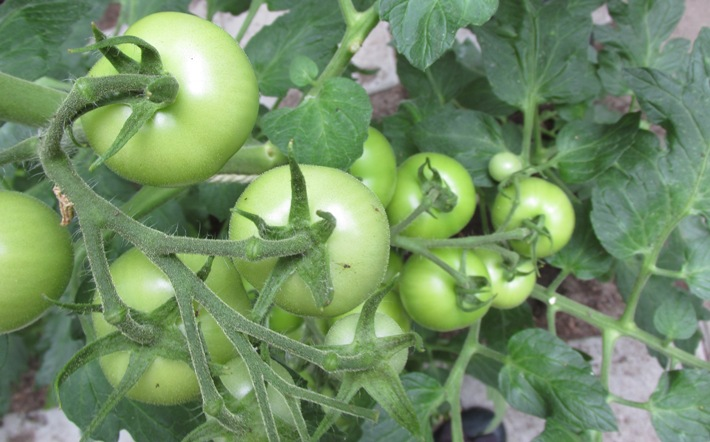 moneymaker tomaten.