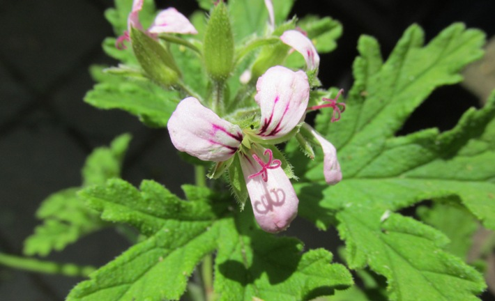 citroengeranium bloemen muggenverdrijver