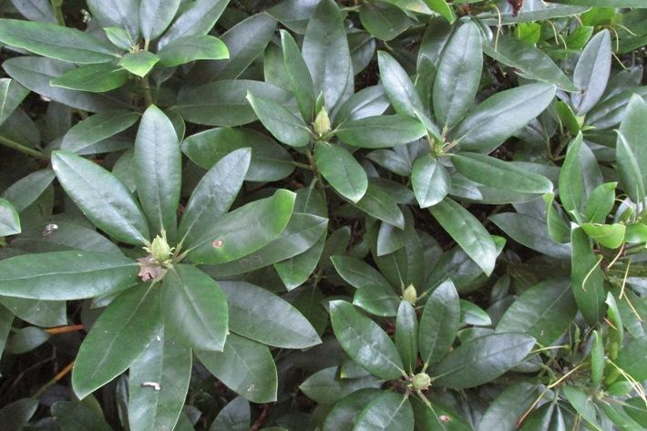 rozetten rododendron