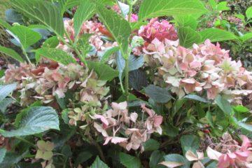 uitgebloeide hortensia