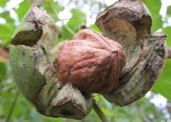 walnoot walnotenboom juglans regia