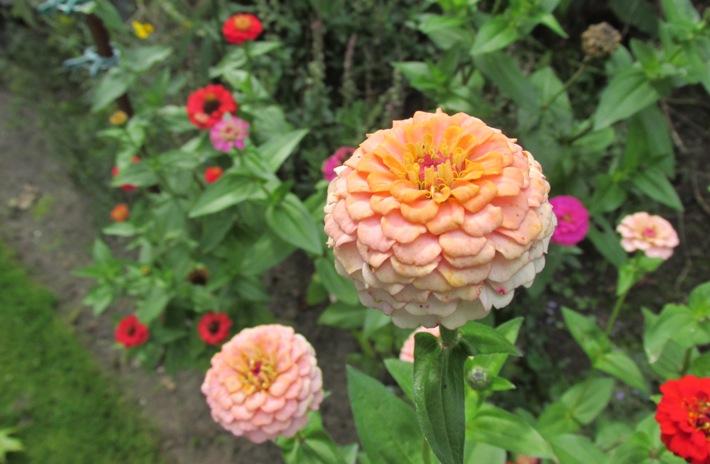 Nostalgische planten: zinnia's
