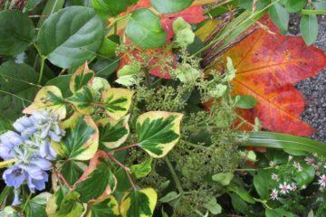 ridderspoor, houttuynia cordata, hortensia, aster horizontalis, esdoornblad, ligusterblad, appelblad