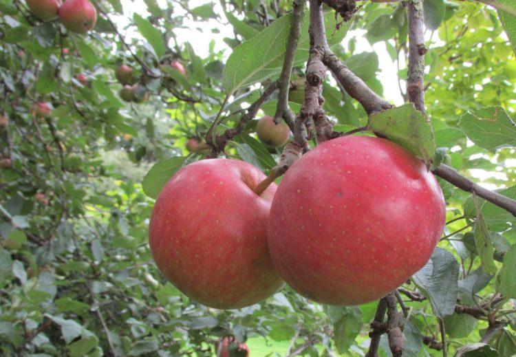 appelboom jan steen