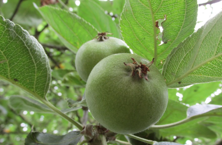 groene appel jan steen