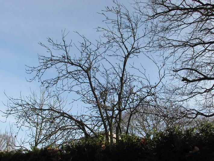 kale appelboom