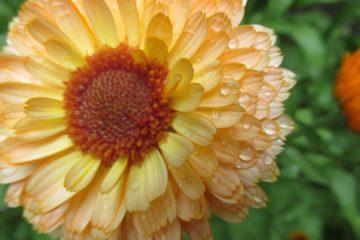 goudsbloem calendula officinalis