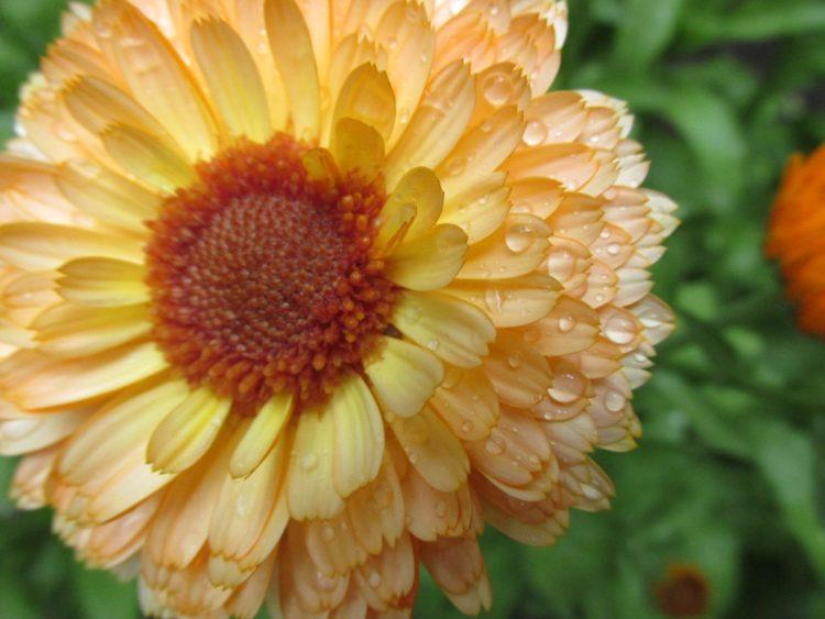 Nostalgische planten: goudsbloemen (calendula officinalis)