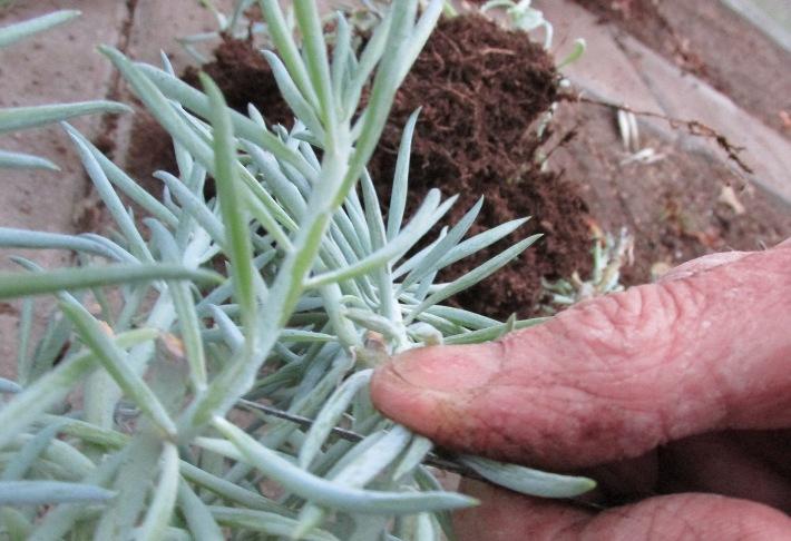 kamerplant snoeien