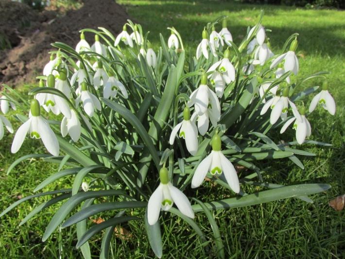 sneeuwklokjes bloeien februari