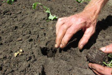 boerenkool planten