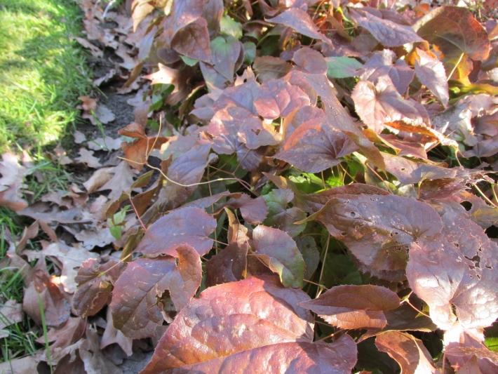 epimedium elfenbloem blad