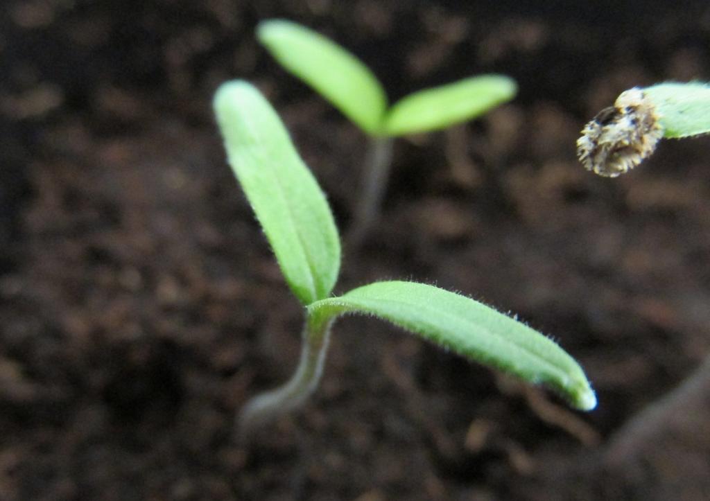kiemplantje tomaat