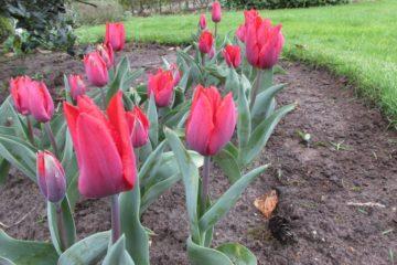 Tulpen lente