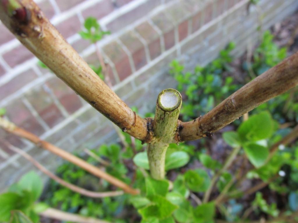 hortensia snoeien 2