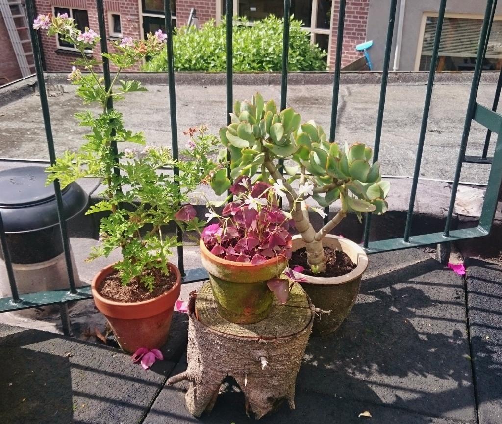 citroengeranium, klaver, succulent