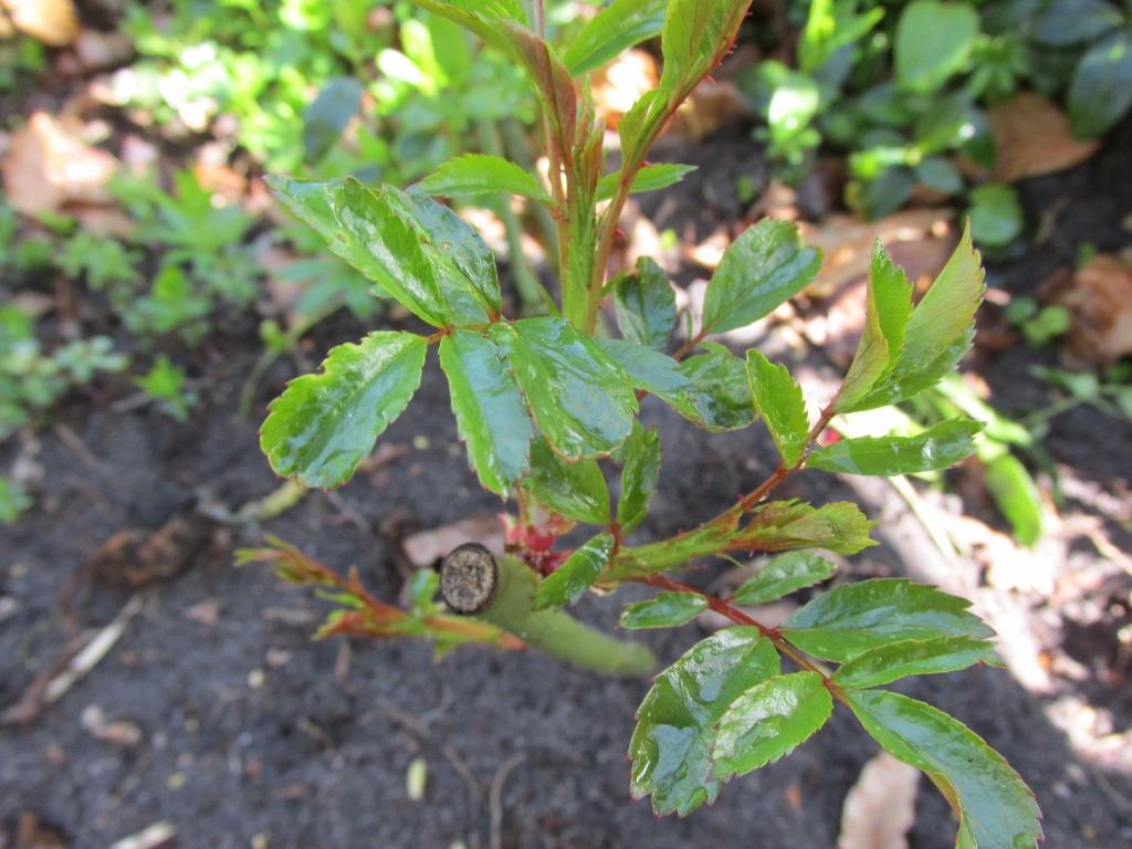 oude rozen nieuw leven