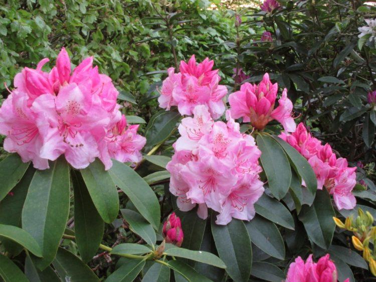 Rododendrons kun je eventueel snoeien na de bloei