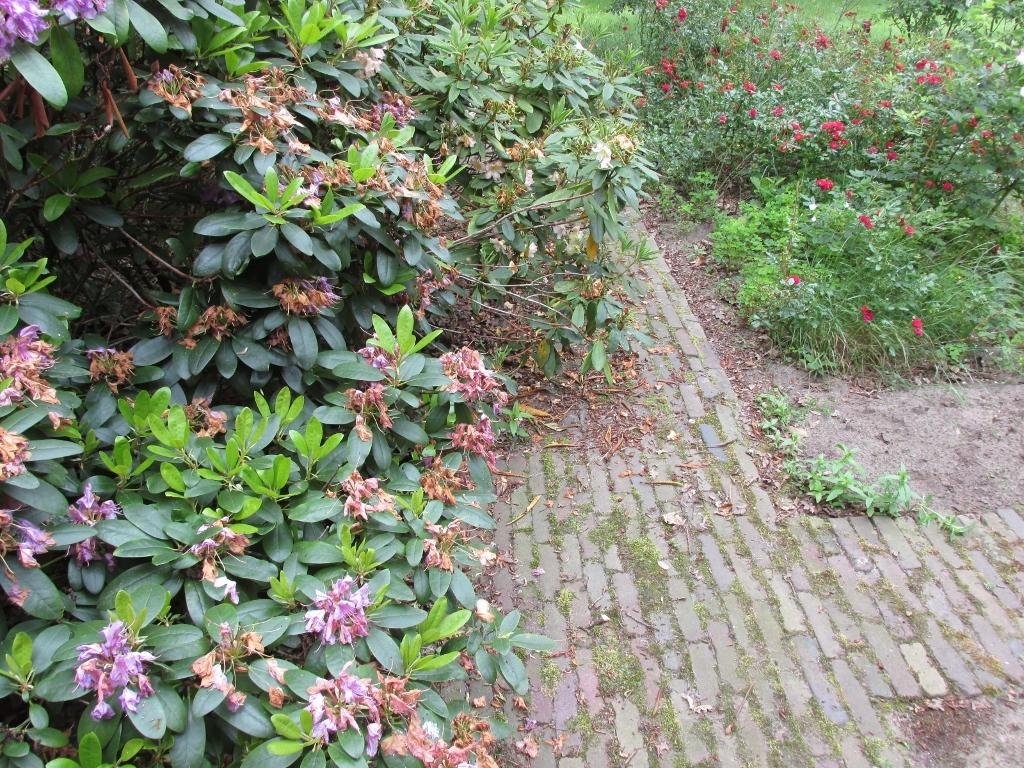 rododendron snoeien voor