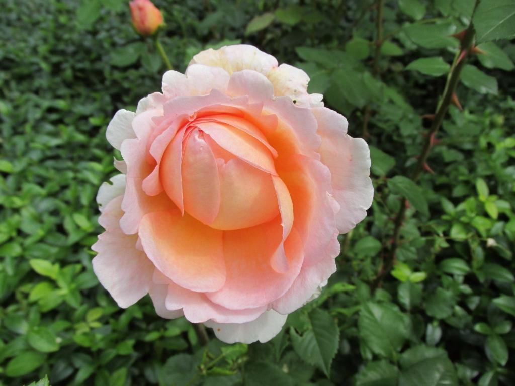 engelse roos halfopen