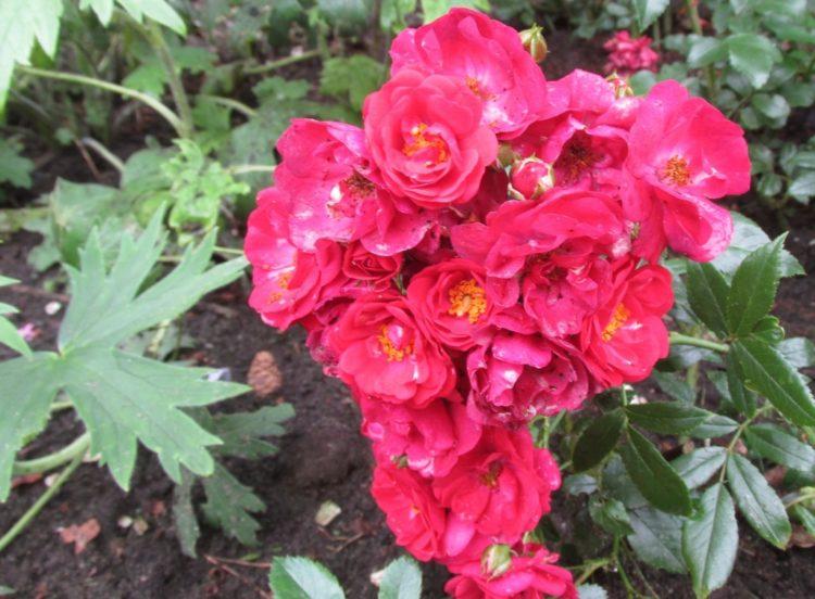 Oude rozen verplanten en ze een nieuw leven geven