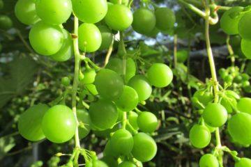 Druiven avondzon