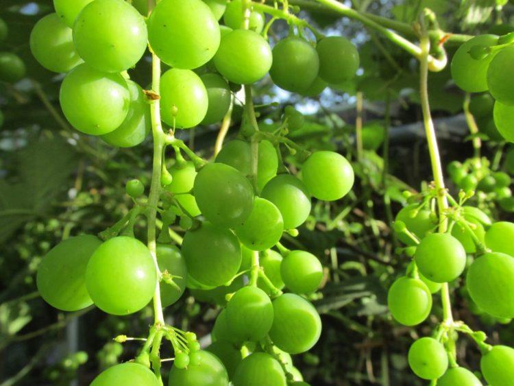 Krenten van druiven: uitdunnen van de druiventrossen