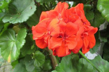 Geranium bloem