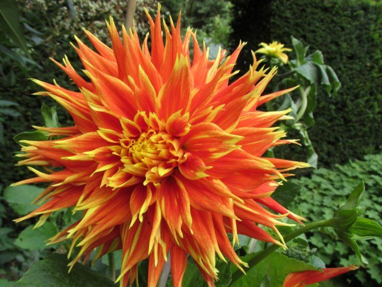 Terug van weggeweest: dahlia's