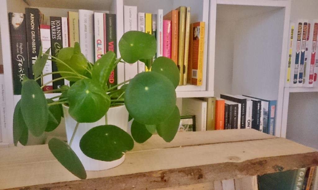 Pilea peperomioides boekenkast
