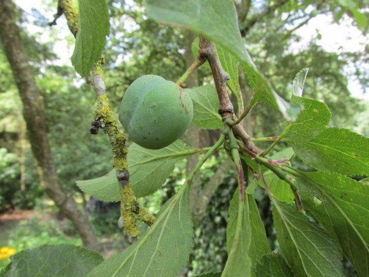 Een pruimenboom gemakkelijk vermeerderen: uitlopers