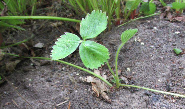 Aardbeien: afleggers uitplanten