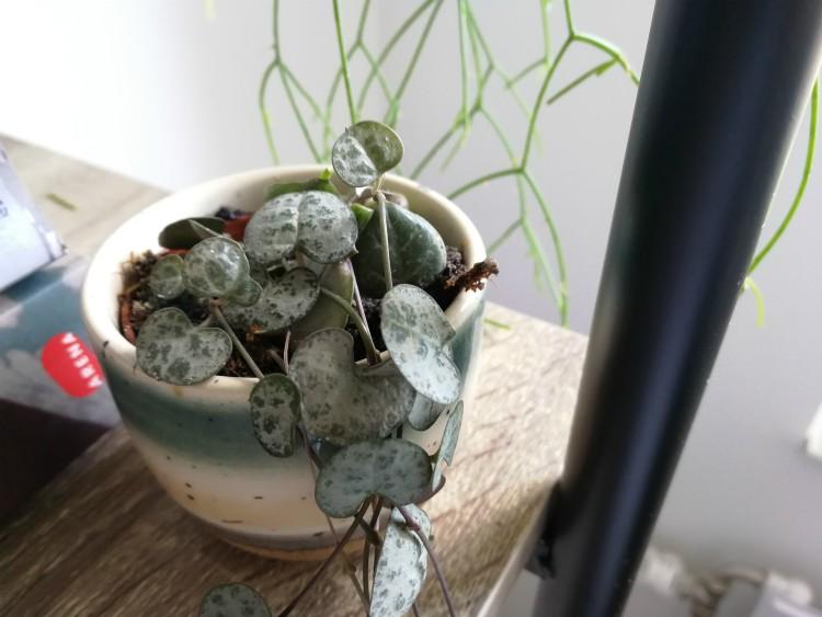 kamerplant chinees lantaarnplantje