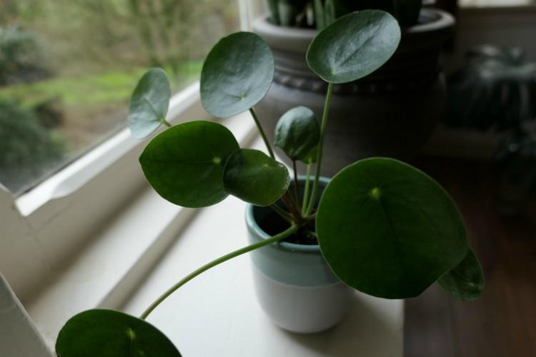 kamerplant verdrinken water uitdrogen pilea