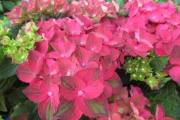 Hydrangea hortensia ruby tuesday plantarium