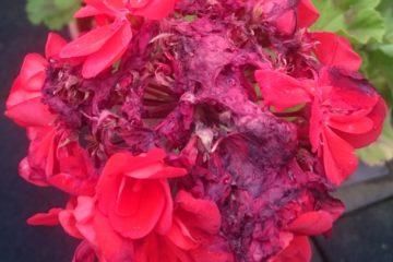 Uitgebloeide geranium