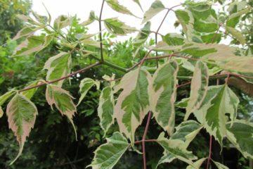 blad bonte esdoorn