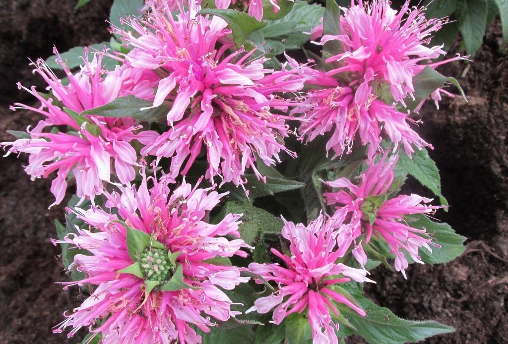 monarda balmy plantarium