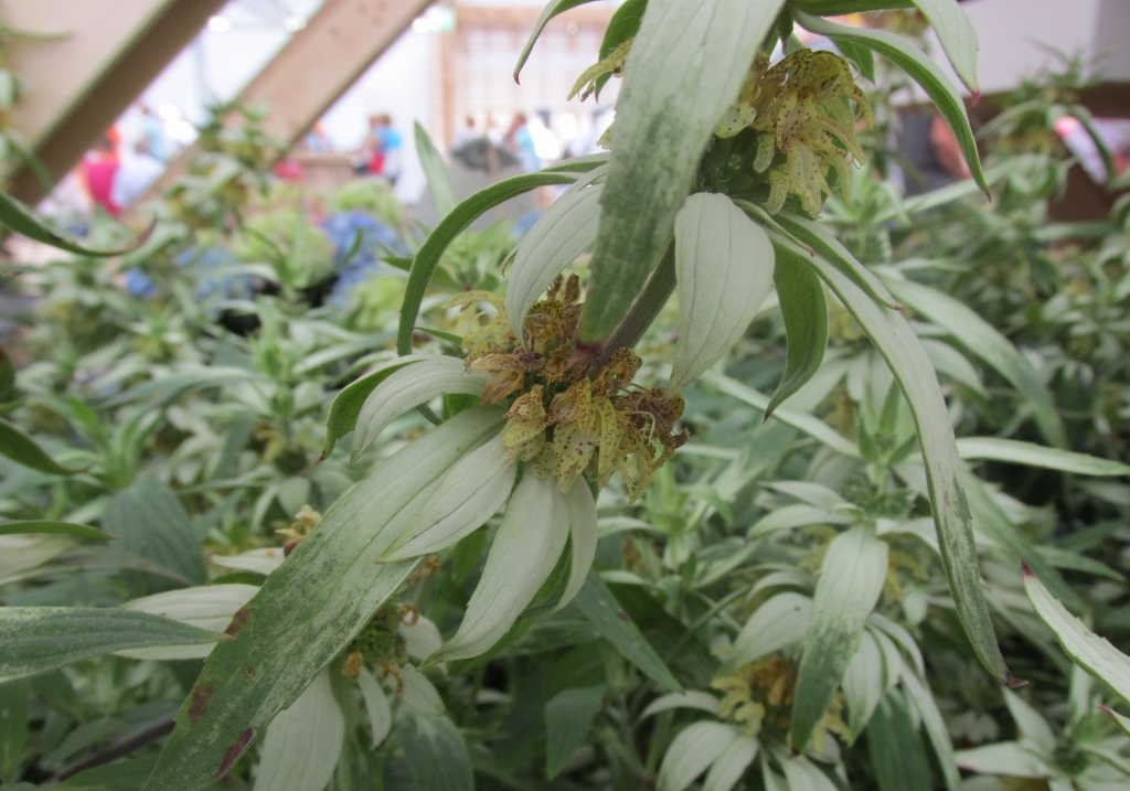 monarda punctata beebop plantarium
