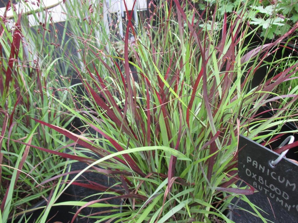 panicum plantarium