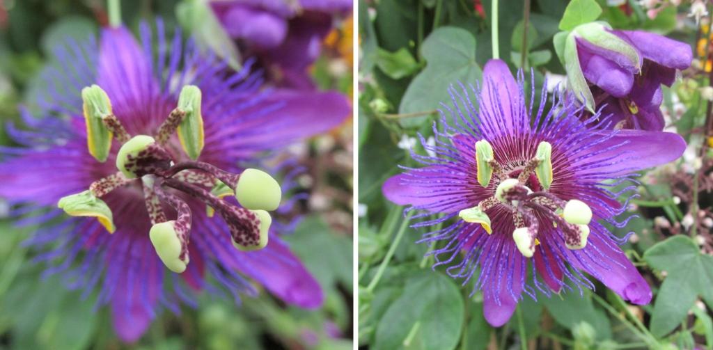 passiflora plantarium