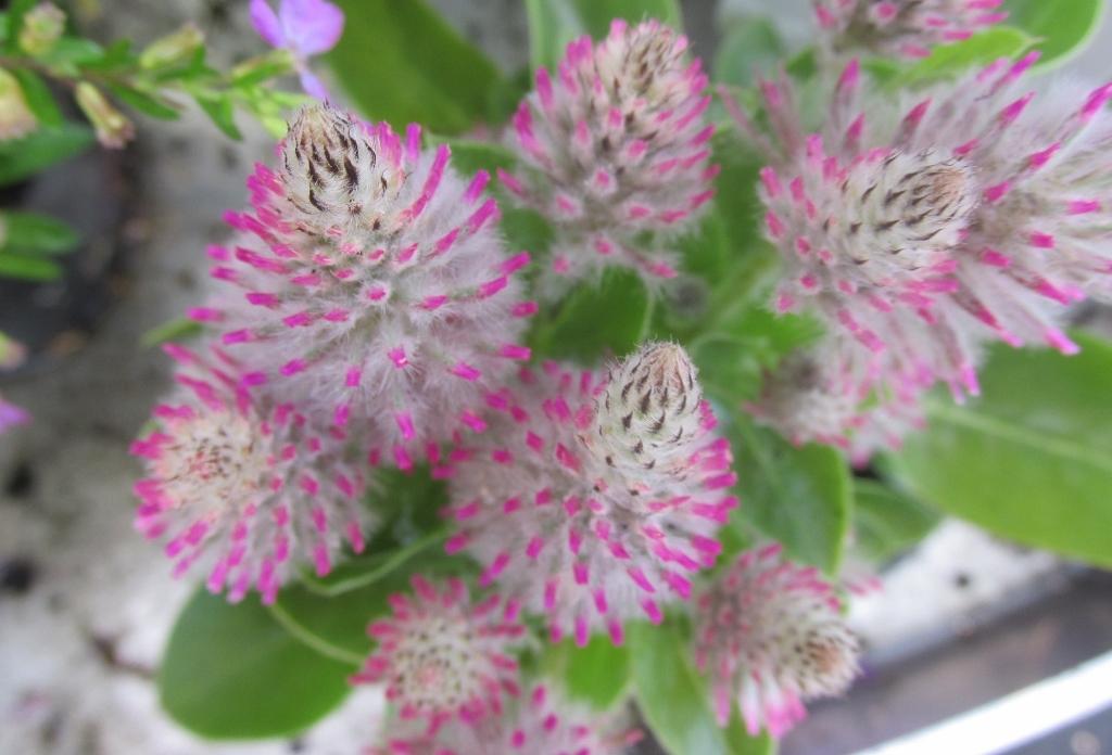 plilotus plantarium