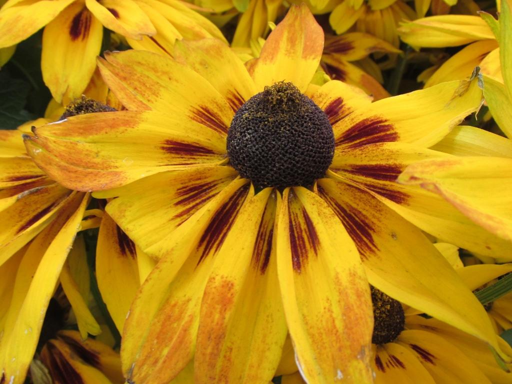 rudbeckia sunbeckia plantarium