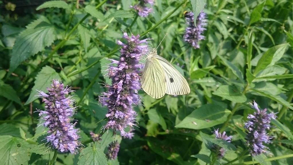 vlinder agastache