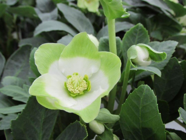witte kerstroos plantarium